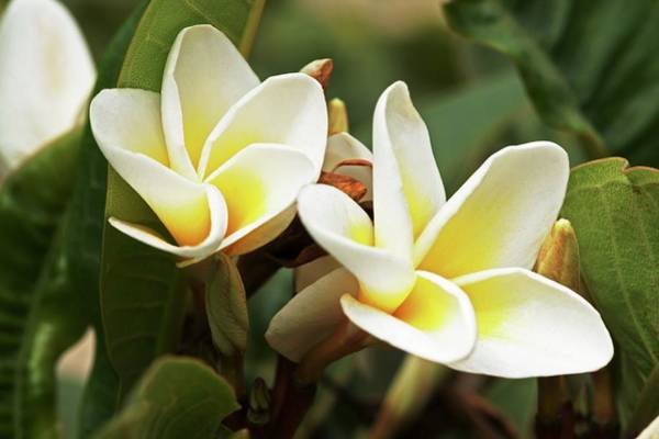 Plumeria Photograph - Frangipani Flowers by Brian Gadsby/science Photo Library