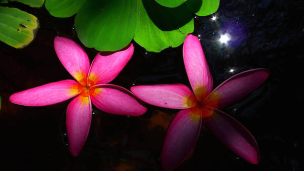Photograph - Frangipani Flowers On Water by August Timmermans