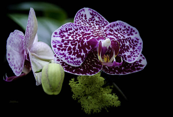 Photograph - Freckled Orchids by Julie Palencia