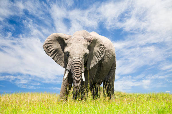 Social Living Wall Art - Photograph - Free African Elephant by 1001slide