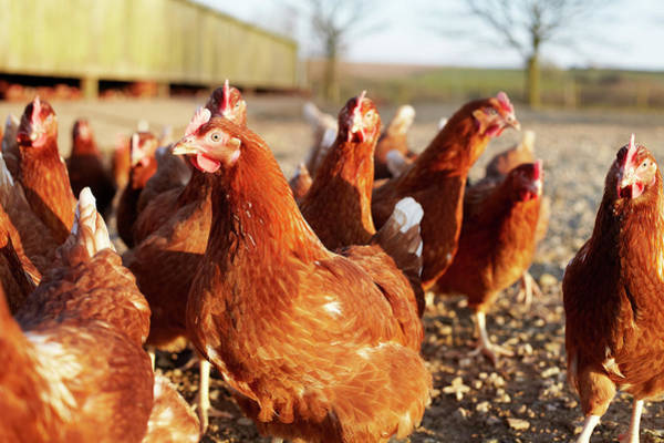 Free Range Photograph - Free-range Chickens On A Farm In by Ezra Bailey