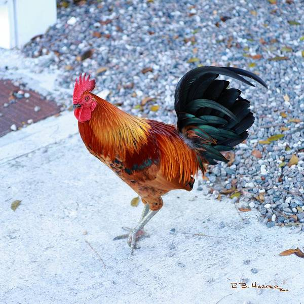 Photograph - Free Range Cock by R B Harper
