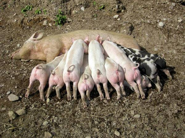 Wall Art - Photograph - Free Range Piglets Suckling by Cordelia Molloy/science Photo Library