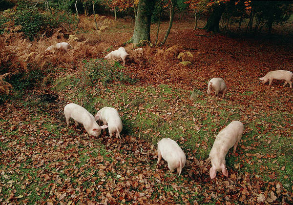 Wall Art - Photograph - Free Range Pigs by Science Photo Library