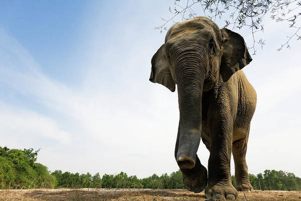 Phnom Penh Photograph - Free Roaming Elephant Elephas Maximus by Anders Blomqvist