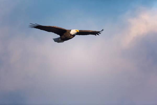 Eagle In Flight Photograph - Freedom Flier by Bill Wakeley