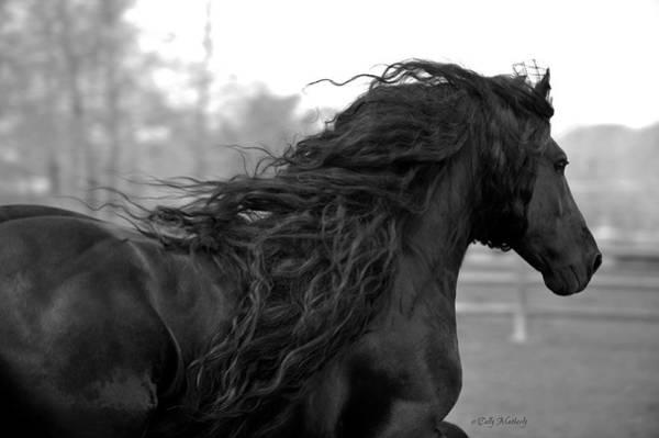Friesian Horse Photograph - Freedom by Pinnacle Friesians