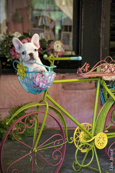 Wall Art - Painting - French Bulldog In Bike Basket by MGL Meiklejohn Graphics Licensing