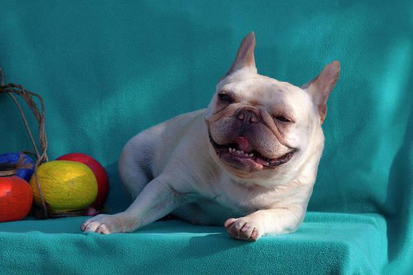 French Bulldog Photograph - French Bulldog On Blue Fabric by Zandria Muench Beraldo