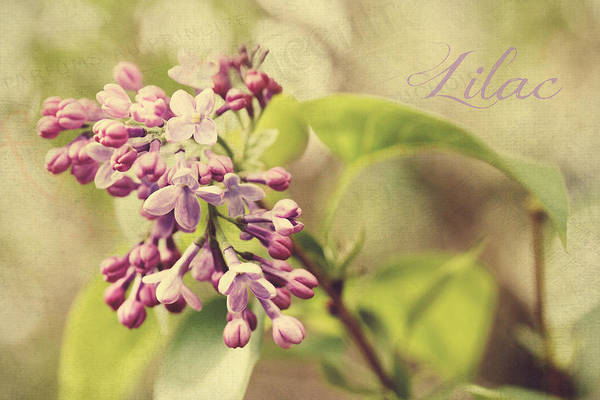 Photograph - French Lilac by Trina  Ansel