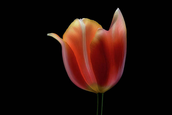 Tulip Wall Art - Photograph - French Tulip by Lotte Gr??nkj??r