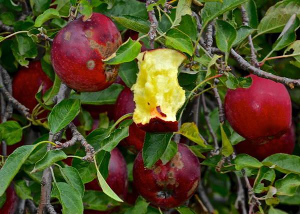 Apple Peel Wall Art - Photograph - Fresh Fruit by Frozen in Time Fine Art Photography
