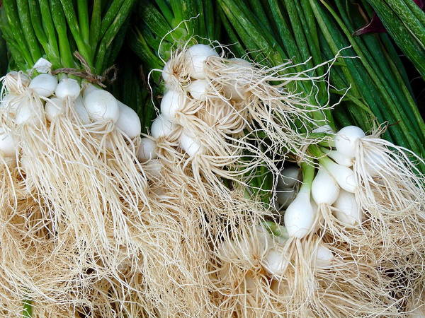 Photograph - Fresh Green Onions With Roots by Jeff Lowe