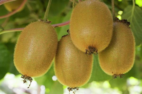 Kiwifruit Photograph - Fresh Kiwi Fruits On The Tree by Foodcollection