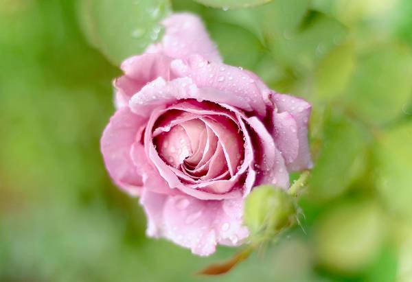 Rainbow Rose Wall Art - Photograph - Fresh Morning Rose by Jenny Rainbow
