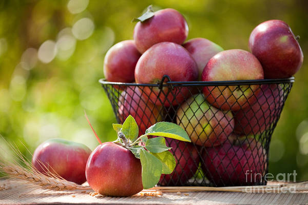 Photograph - Fresh Picked Apples by Cindy Singleton