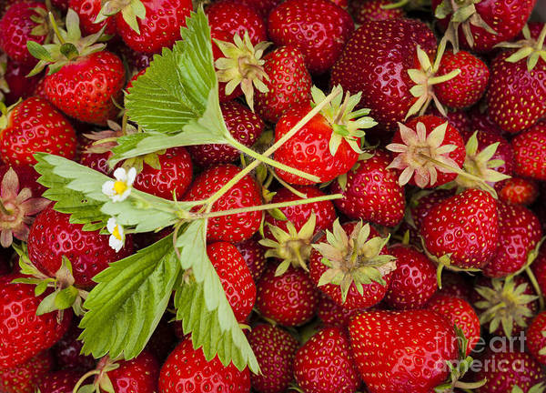 Green Berry Photograph - Fresh Picked Strawberries by Elena Elisseeva