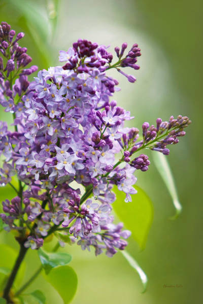 Photograph - Fresh Purple Lilac Flowers by Christina Rollo