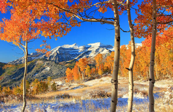 Fresh Snow In The Aspens. Art Print