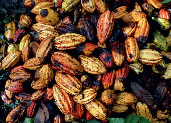 Wall Art - Photograph - Freshly-harvested Cocoa Pods by Dr Morley Read/science Photo Library