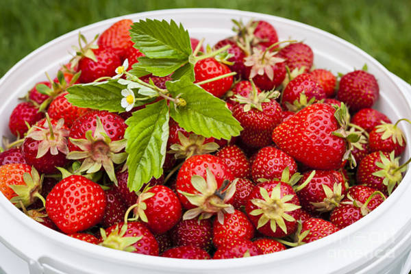 Green Berry Photograph - Freshly Picked Strawberries by Elena Elisseeva