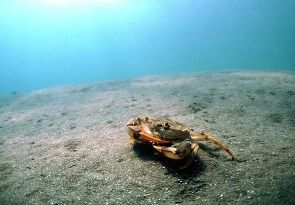 Freshwater Photograph - Freshwater Crab by Peter Scoones/science Photo Library