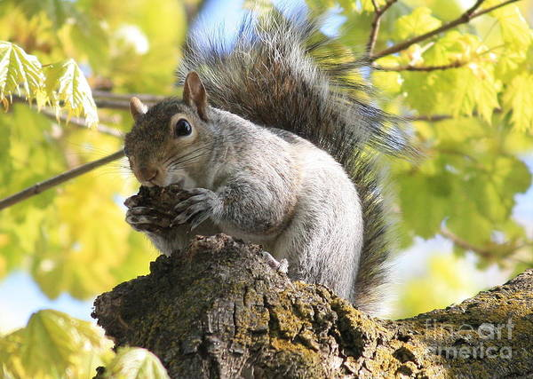 Photograph - Friendly Squirrel by Carol Groenen