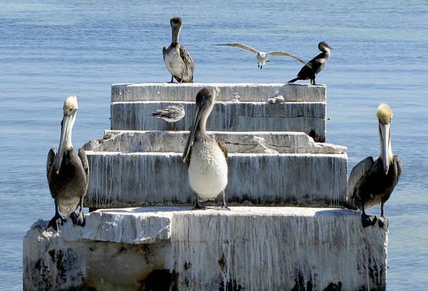 Photograph - Pelican Friends by Bob Slitzan