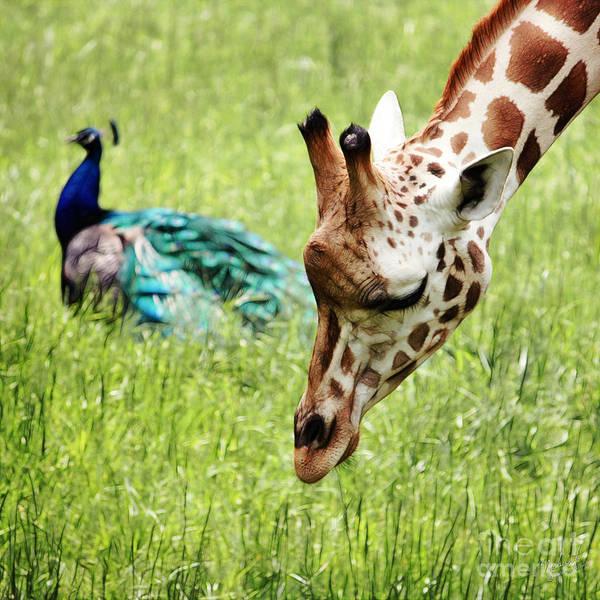 Colorful Giraffe Photograph - Friendship by Nishanth Gopinathan