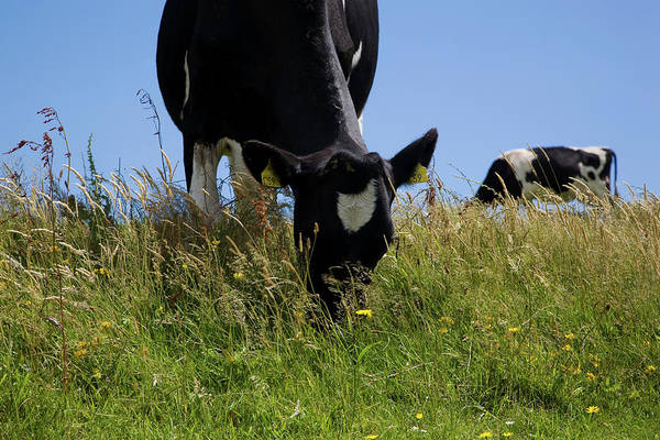 Eire Photograph - Friesian Cattle Grazing In Wild Flower by Animal Images
