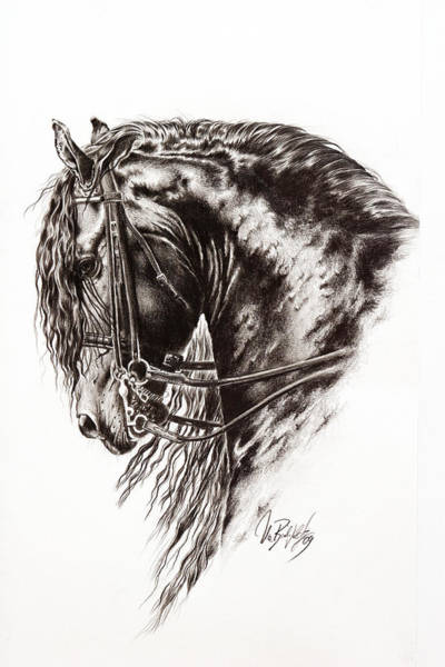 Friesian Drawing - Friesian Horse by Art Imago