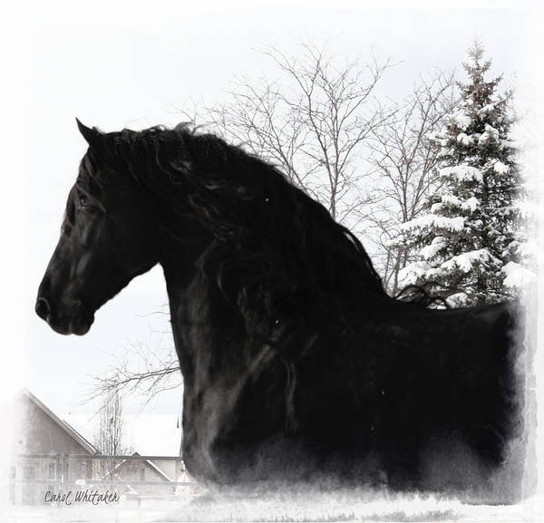 Photograph - Friesian Magnificence by Carol Whitaker