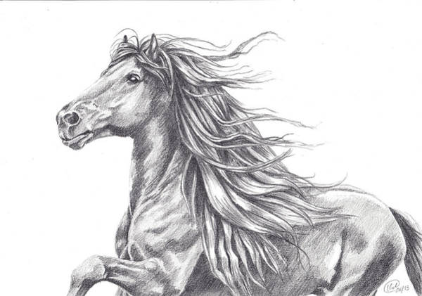 Friesian Drawing - Friesian Power by Kate Black