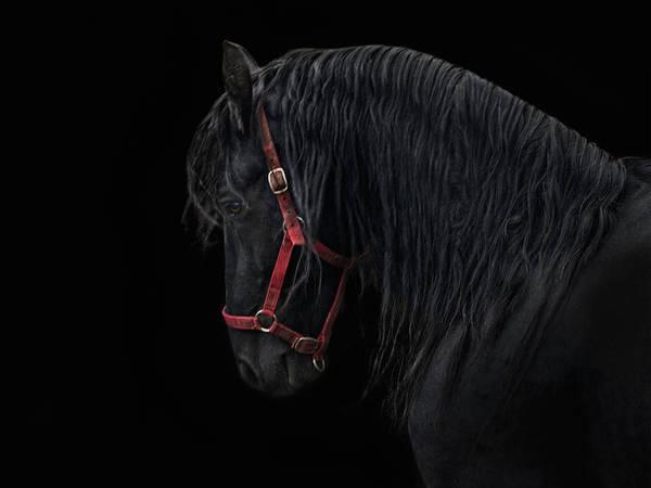 Friesian Horse Photograph - Friesian Stallion by Joachim G Pinkawa