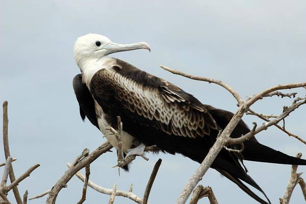 Puerto Plata Photograph - Frigate Bird On A Branch by Robert Hamm