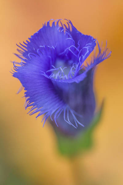 Photograph - Fringed Gentian by Dale Kincaid