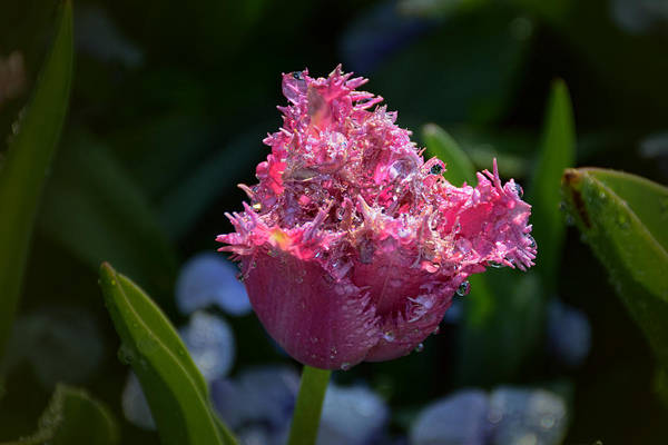 Photograph - Fringed Tulip by Jeanne May
