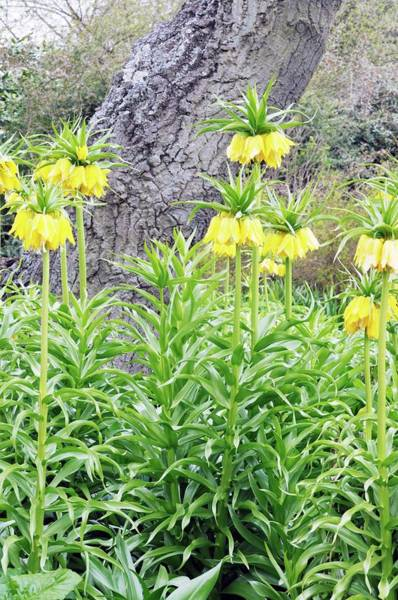 Fritillaria Photograph - Fritillaria Imperia 'lutea' by Anthony Cooper/science Photo Library
