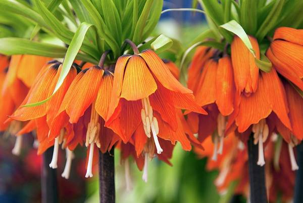 Fritillaria Photograph - Fritillaria Imperialis 'aurora' by Adrian Thomas/science Photo Library