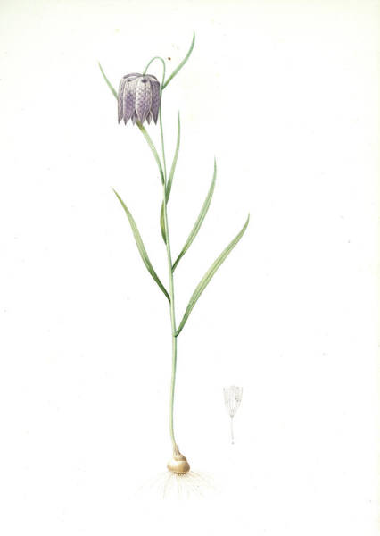 Checker Drawing - Fritillaria Meleagris, Fritillaire Pintade Snakehead by Artokoloro