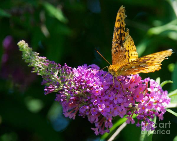Photograph - Fritillary Butterfly  by Mark Dodd