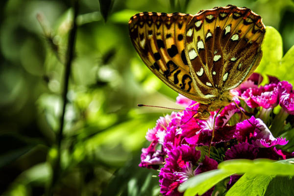 Photograph - Fritillary Butterfly On A Pink Bloom by Belinda Greb