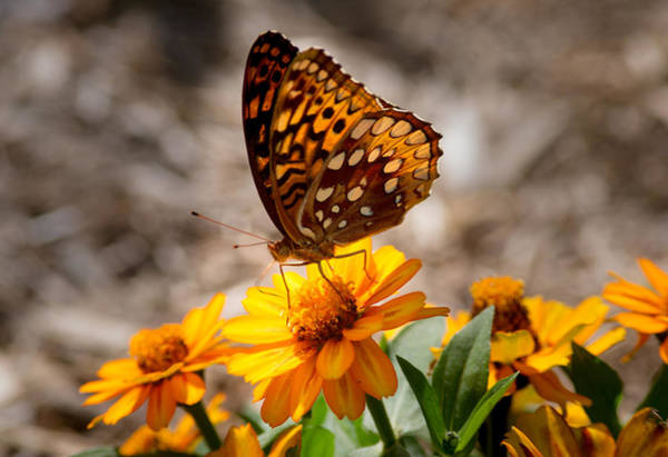 Wall Art - Photograph - Fritillary Feeding by Douglas Barnett