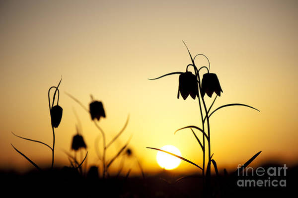 Fritillaria Photograph - Fritillary Flower Sunset by Tim Gainey