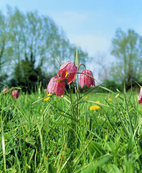 Fritillary Wall Art - Photograph - Fritillary Flowers Growing In A Meadow by Martin Bond/science Photo Library
