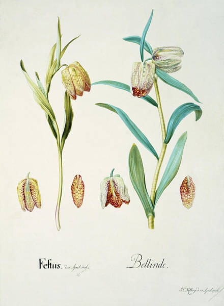Fritillaria Photograph - Fritillary Flowers by Natural History Museum, London/science Photo Library