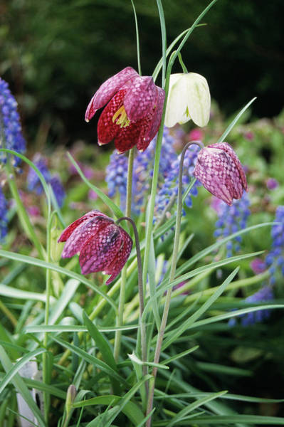 Fritillaria Photograph - Fritillary Flowers by Tony Craddock/science Photo Library