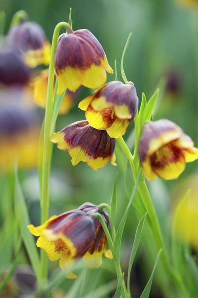 Fritillaria Photograph - Fritillary (fritillaria Michailovskyi) by Adrian Thomas/science Photo Library