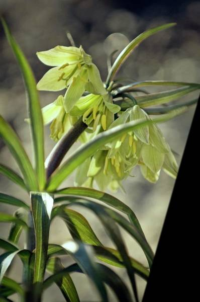 Fritillaria Photograph - Fritillary (fritillaria Raddeana) by Maria Mosolova/science Photo Library
