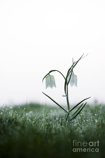 Fritillaria Photograph - Fritillary In The Mist by Tim Gainey